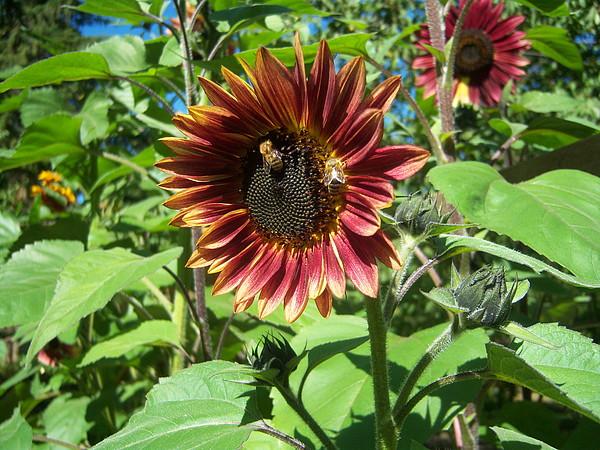 Sun Photograph - Sunflower 133 by Ken Day