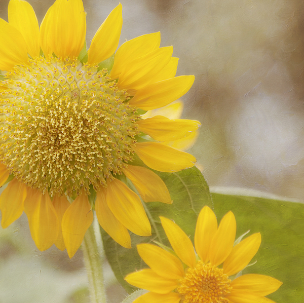 Horizontal Photograph - Sunflower by Kim Hojnacki