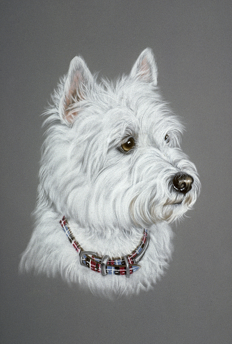 Dog Pastel - West Highland White Terrier  by Patricia Ivy