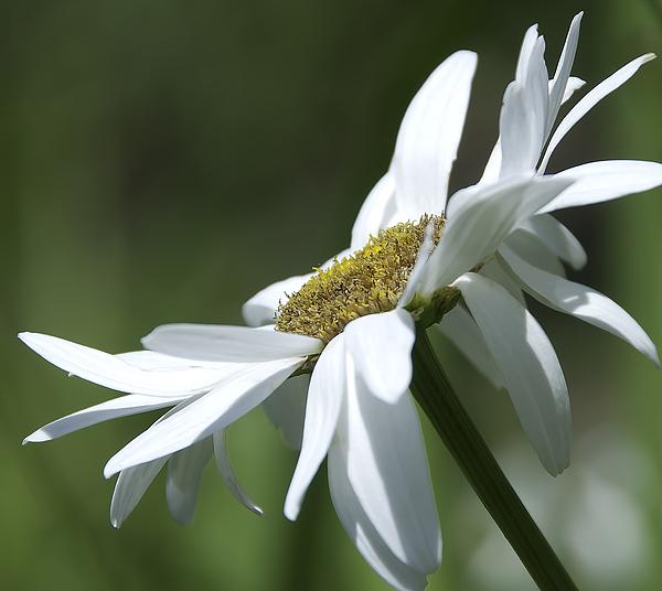 Botanic Photograph - White Daisy by Svetlana Sewell