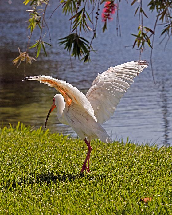 White Ibis Photograph by Allan  Hughes
