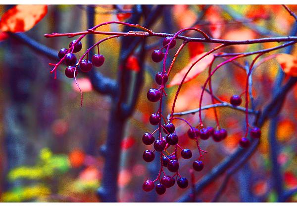 Berries Photograph - Winter Berries by Doug Johnson