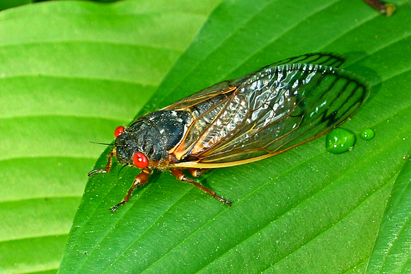 17 Photograph - 17 Year Periodical Cicada by Douglas Barnett