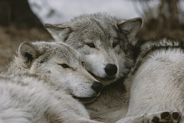 Subject Photograph - A Couple Of Gray Wolves, Canis Lupus by Jim And Jamie Dutcher