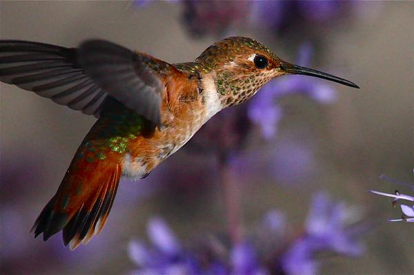 Allens Hummingbird Photograph by Paul Marto