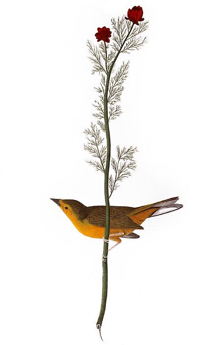 1827 Photograph - Audubon: Warbler, (1827) by Granger