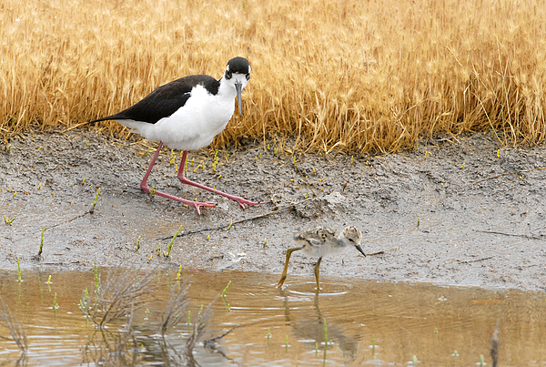 Bird Photograph - Black Necked Stilt With Chick by Dennis Hammer
