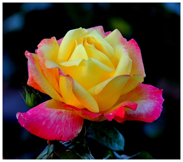 Rose Photograph - Brilliant And Bold by Frank Wickham