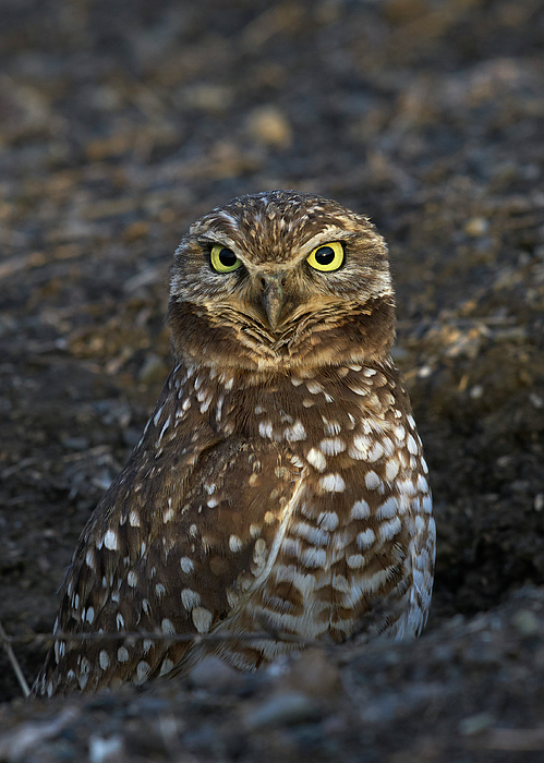 Birds Photograph - Burrowing Owl by Doug Herr