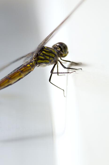 Lightweight Photograph - Close Up Shoot Of A Anisoptera Dragonfly by Ulrich Schade