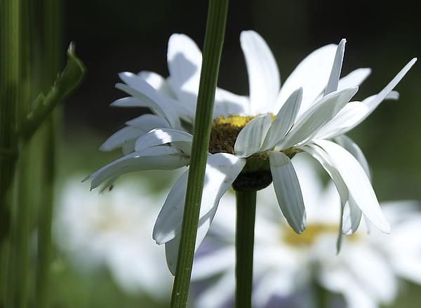 Botanic Photograph - Daisy by Svetlana Sewell