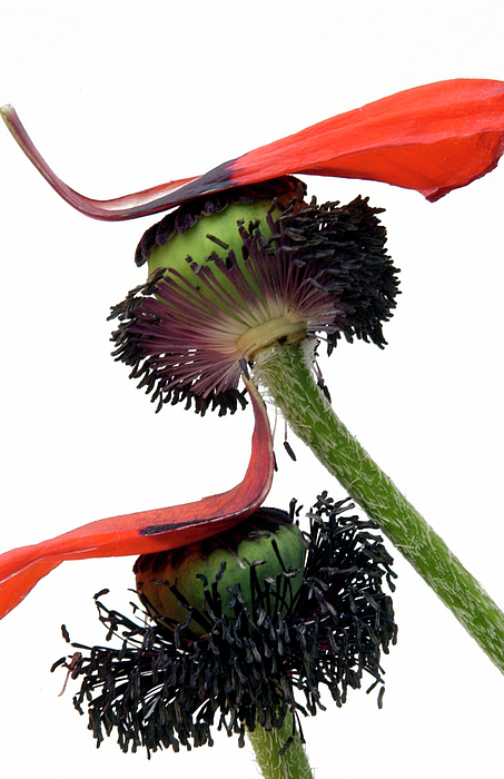 Indoors Photograph - Flower Poppy In Studio by Bernard Jaubert