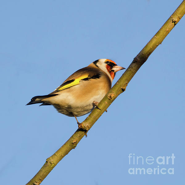 Goldfinch Photograph - Goldfinch by Steev Stamford