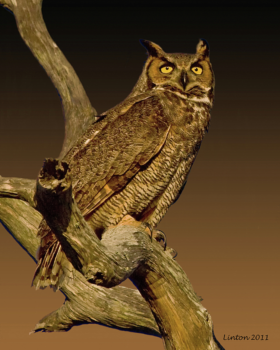 Great Horned Owl Photograph - Great Horned Owl by Larry Linton