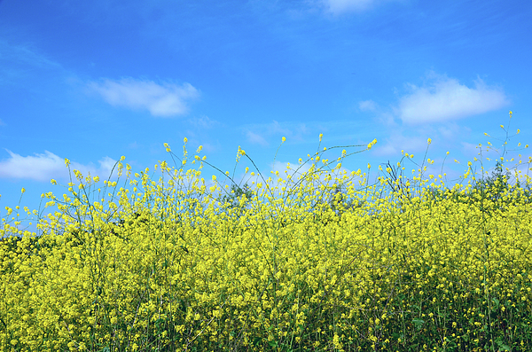 Field Photograph - Mustard Beauty by Timothy OLeary