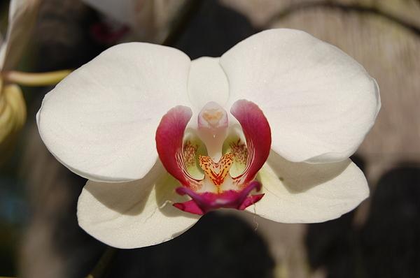 Orchids In Miramar Photograph by Joe Perdomo