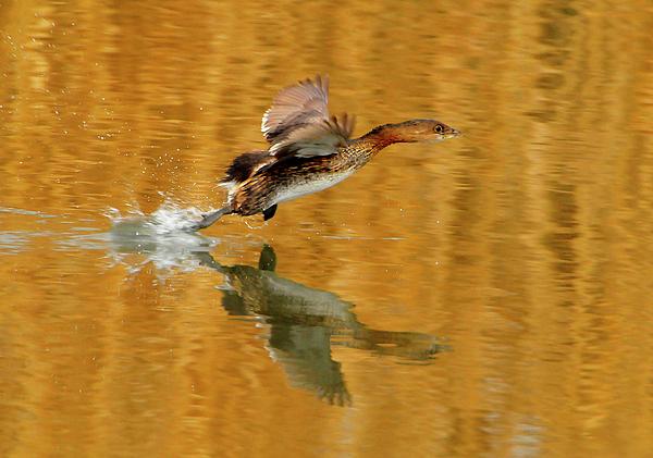 Duck Photograph - Pie Billed Grebe by Dennis Hammer