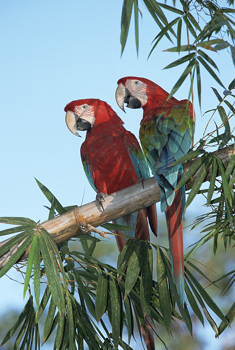 Mp Photograph - Red And Green Macaw Ara Chloroptera by Konrad Wothe