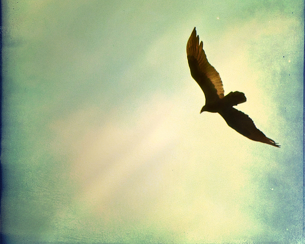 Soaring Bird Photograph - Soaring by Amy Tyler