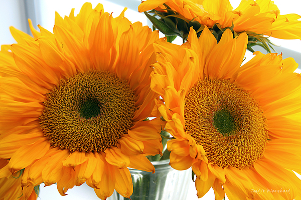 Sunflowers Photograph - Sunflowers by Todd Blanchard