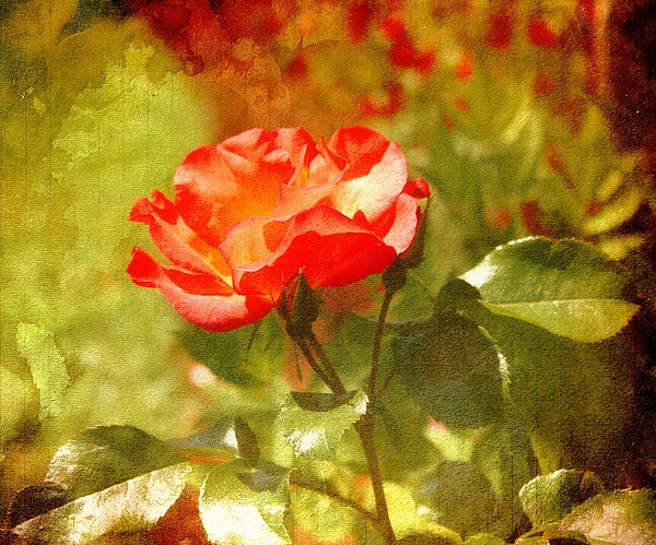 Roses Photograph - Vintage Rose by Cathie Tyler