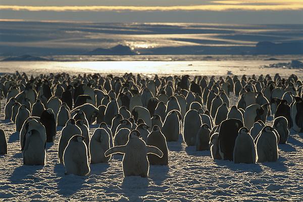 Mp Photograph - Emperor Penguin Aptenodytes Forsteri by Pete Oxford