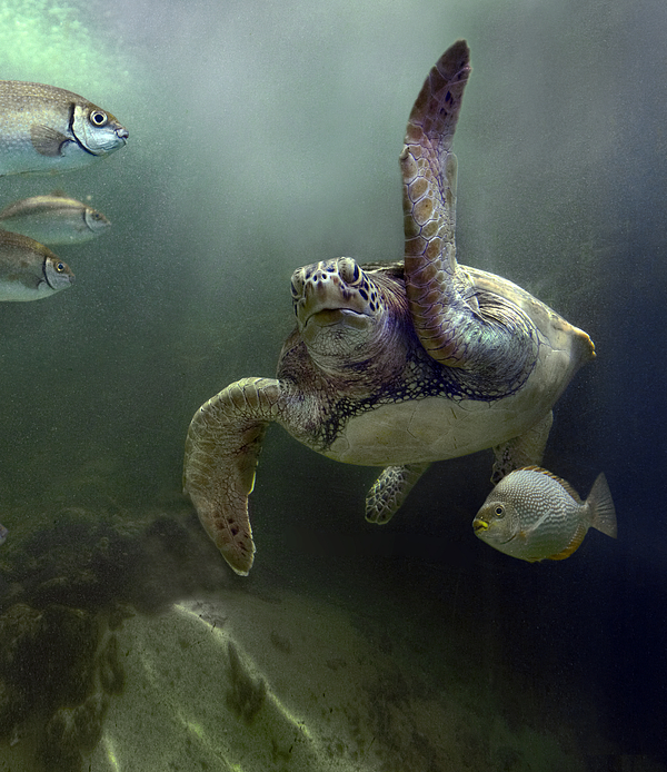 Mp Photograph - Green Sea Turtle Chelonia Mydas by Tim Fitzharris