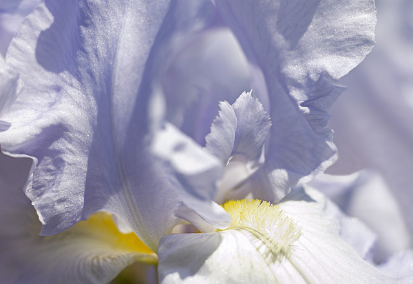 Blue Photograph - Iris Flowers by Tony Cordoza