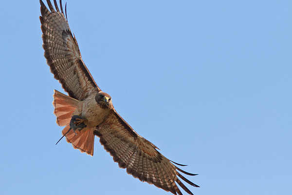 California Photograph - Red-tailed Hawk  by Carl Jackson
