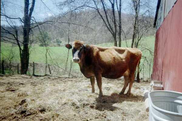Cow Photograph - cow by Melynda Galbraith