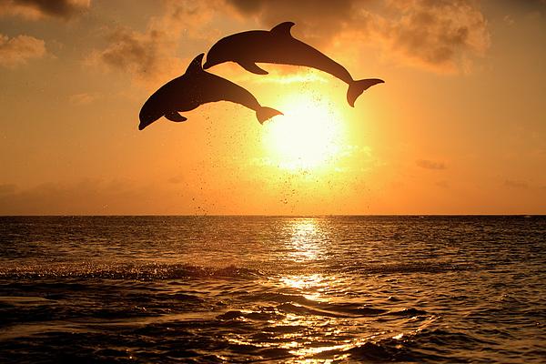 Horizontal Photograph - Delfin (grosser Tuemmler) by Tier Und Naturfotografie J und C Sohns