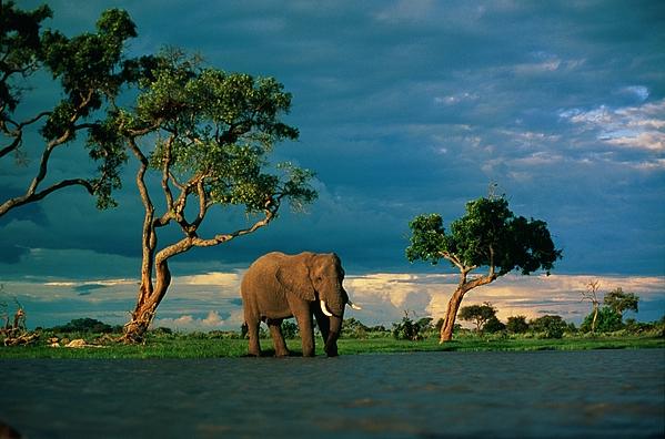 Africa Photograph - African Elephant Loxodonta Africana by Beverly Joubert