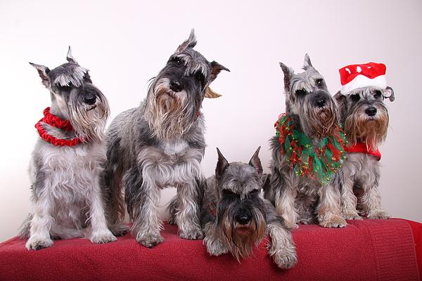 Schnauzers Photograph - 5 Christmas Schnauzers by Bill Schmitt