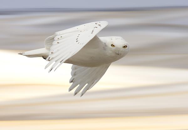 Owl Photograph - Snowy Owl In Flight by Mark Duffy
