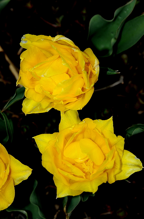 Yellow Flowers Photograph - Yellow Flowers by Patrick  Short