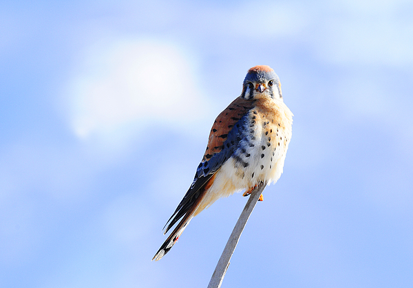 Bird Photograph - American Kestrel by Dennis Hammer