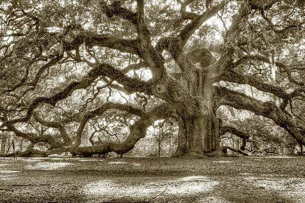 Dustin K Ryan - Angel Oak Live Oak Tree