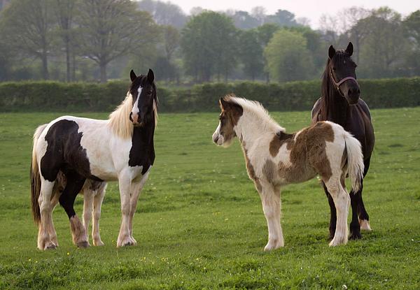 Horse Photograph - Irish Cobs by Angel  Tarantella