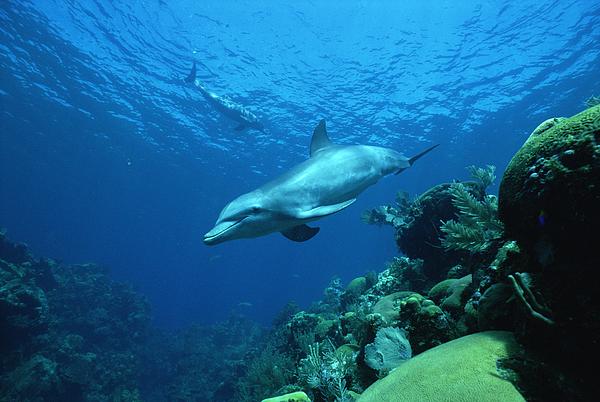 Mp Photograph - Bottlenose Dolphin Tursiops Truncatus by Konrad Wothe