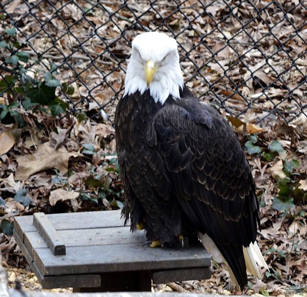 Animal Photograph - A Bald Eagle by Eva Thomas