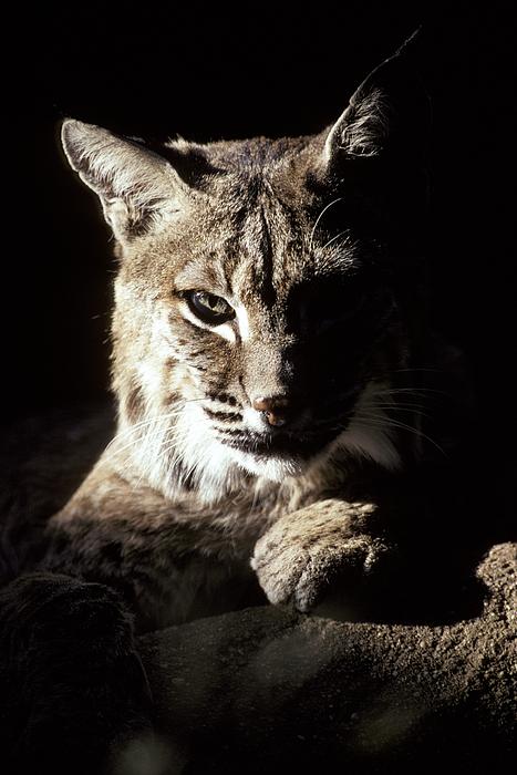 Bobcat Photograph - A Bobcat Sitting In A Ray Of Sun by Jason Edwards