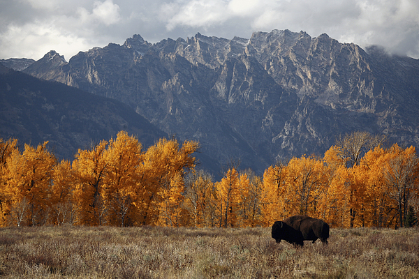 Outdoors Photograph - A Buffalo Grazing In Grand Teton by Aaron Huey