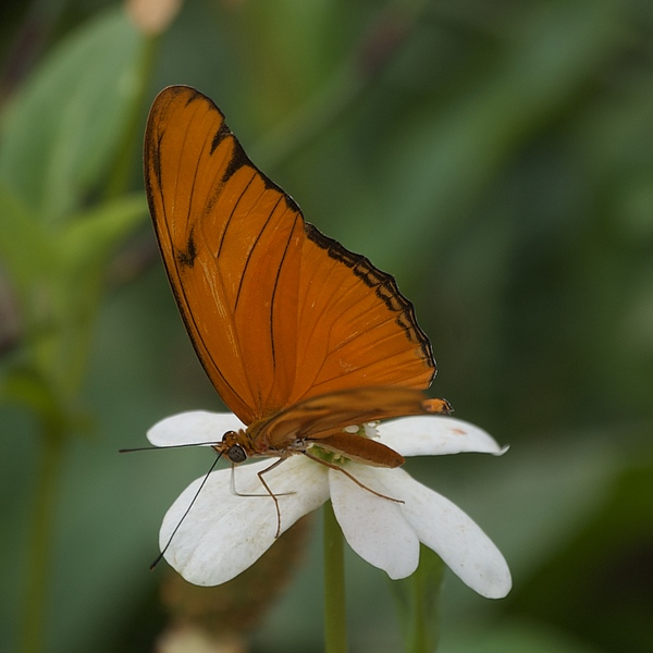 Butterfly Photograph - A Butterfly Lands Upon A White Flower by Susan Heller