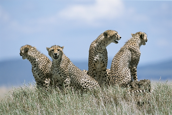 Animals Photograph - A Cheetah Family by David Pluth