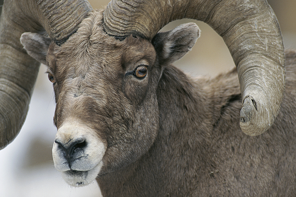 North America Photograph - A Close View Of A Male Bighorn Sheep by Tom Murphy