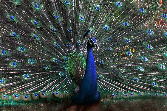 A Dancing Peacock Photograph by Arvind T Akki