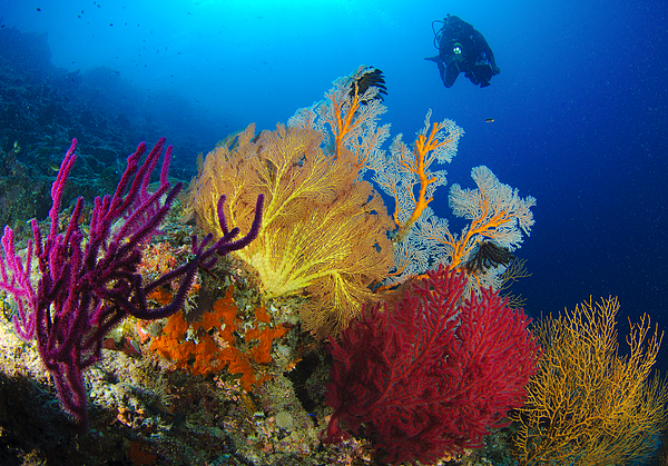 Anthozoa Photograph - A Diver Looks On At A Colorful Reef by Steve Jones