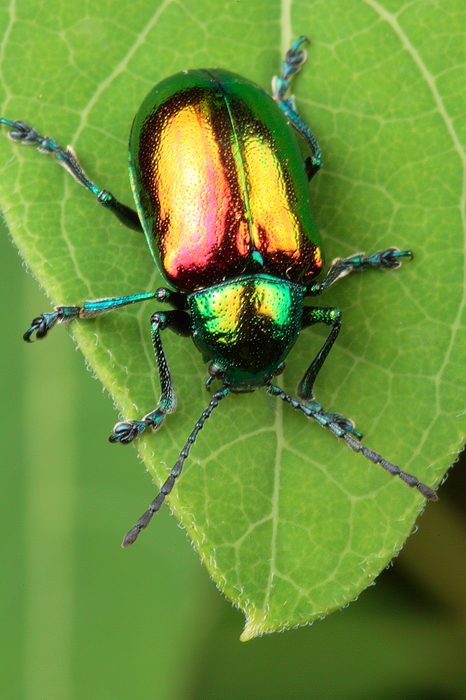 Animals Photograph - A Dogbane Leaf Beetle, by George Grall