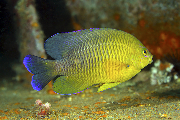 Fish Photograph - A Dusky Damselfish Offshore From Panama by Michael Wood