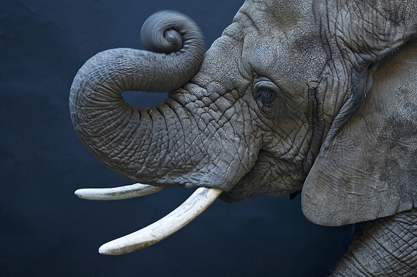 Indoors Photograph - A Female African Elephant, Loxodonta by Joel Sartore